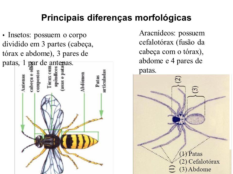 Principais diferenças morfológicas