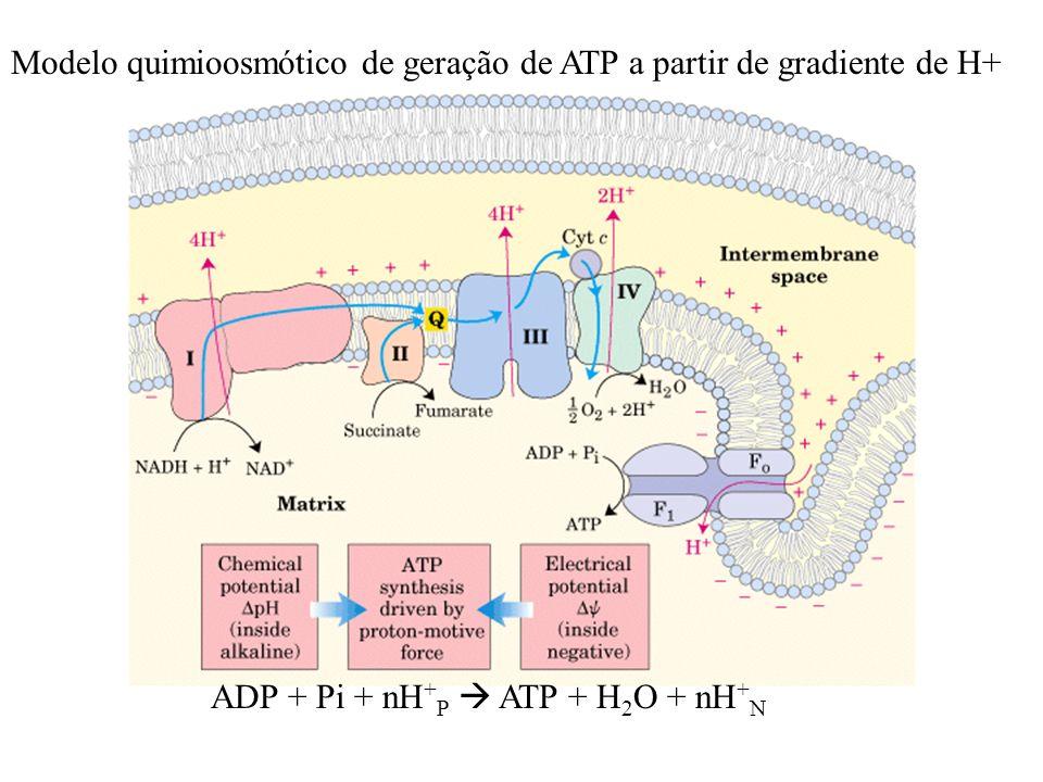 Modelo quimioosmótico de geração de ATP a partir de gradiente de H+