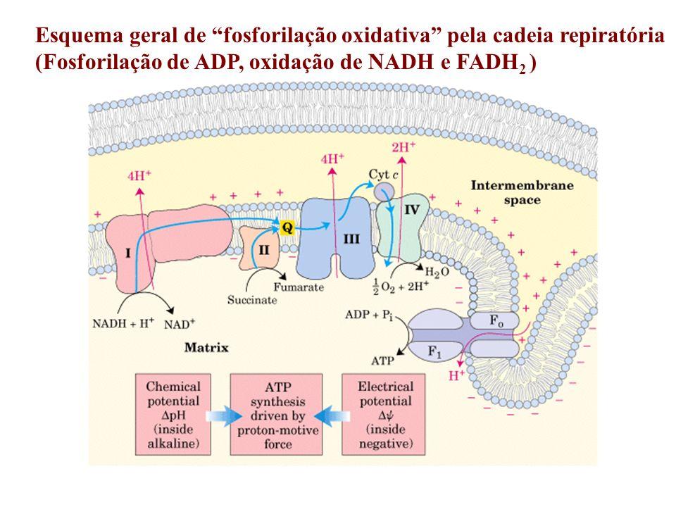 Esquema geral de fosforilação oxidativa pela cadeia repiratória