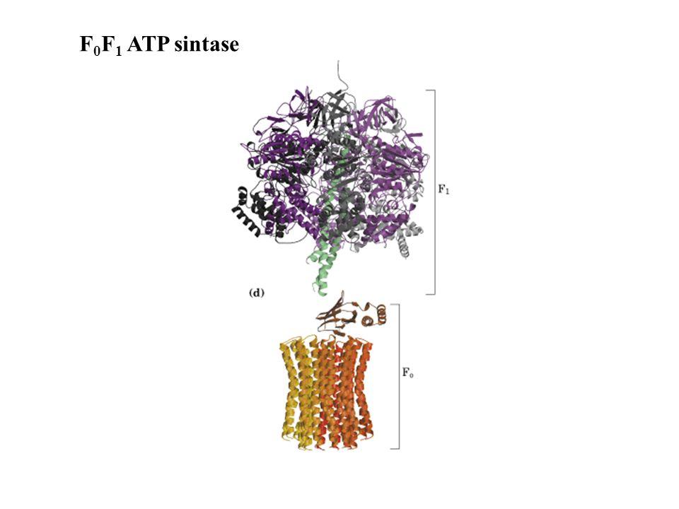 F0F1 ATP sintase