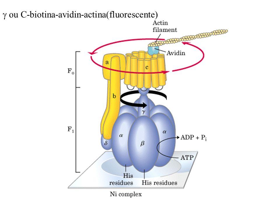 g ou C-biotina-avidin-actina(fluorescente)