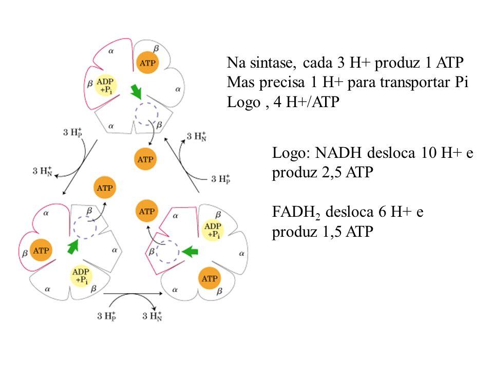 Na sintase, cada 3 H+ produz 1 ATP