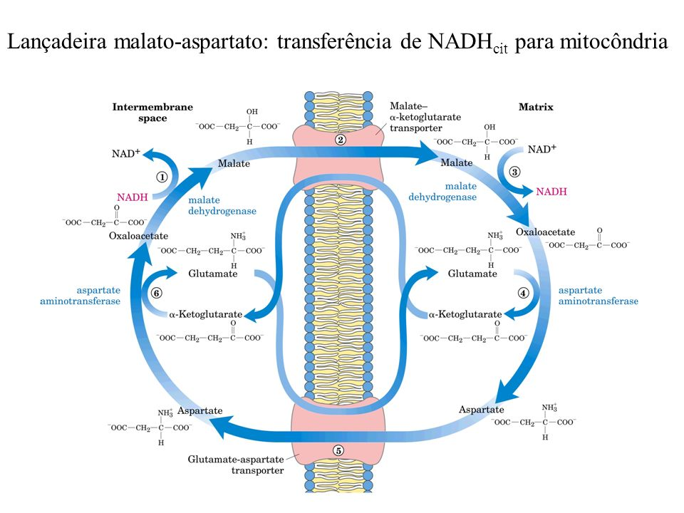 Lançadeira malato-aspartato: transferência de NADHcit para mitocôndria