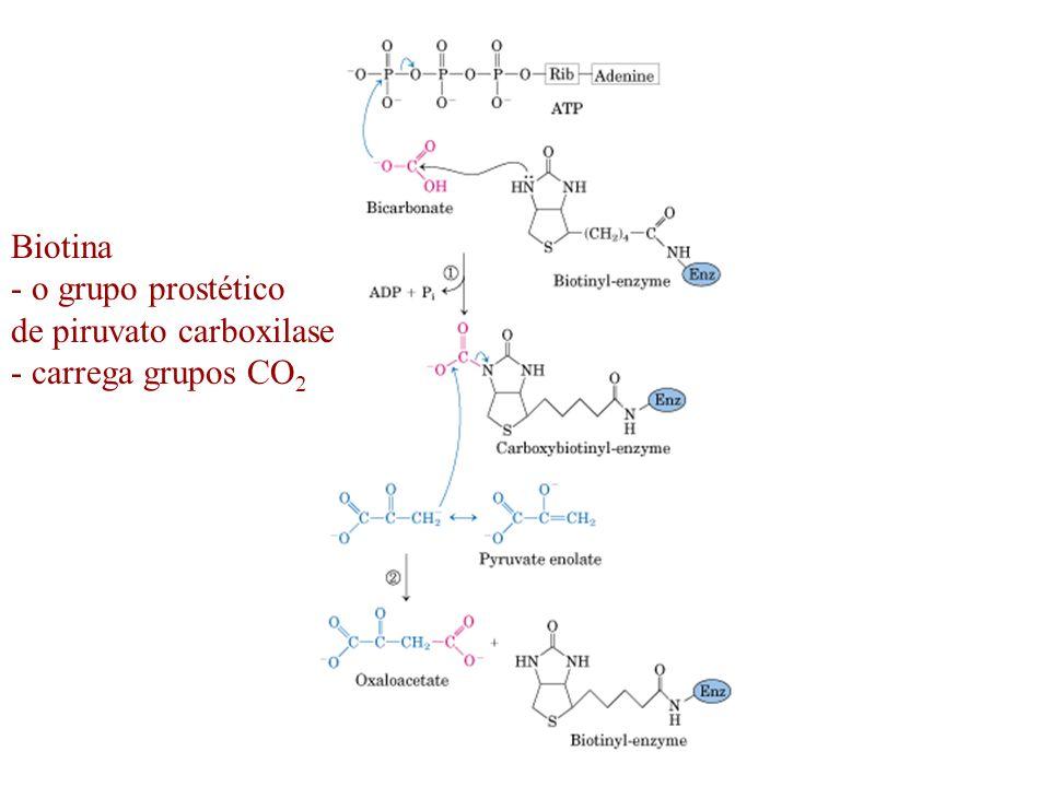 Biotina o grupo prostético de piruvato carboxilase - carrega grupos CO2