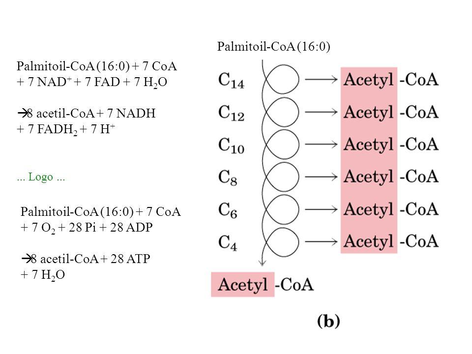 Palmitoil-CoA (16:0) + 7 CoA + 7 NAD+ + 7 FAD + 7 H2O