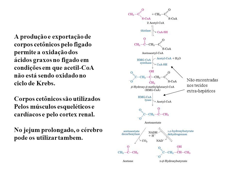 A produção e exportação de corpos cetônicos pelo figado