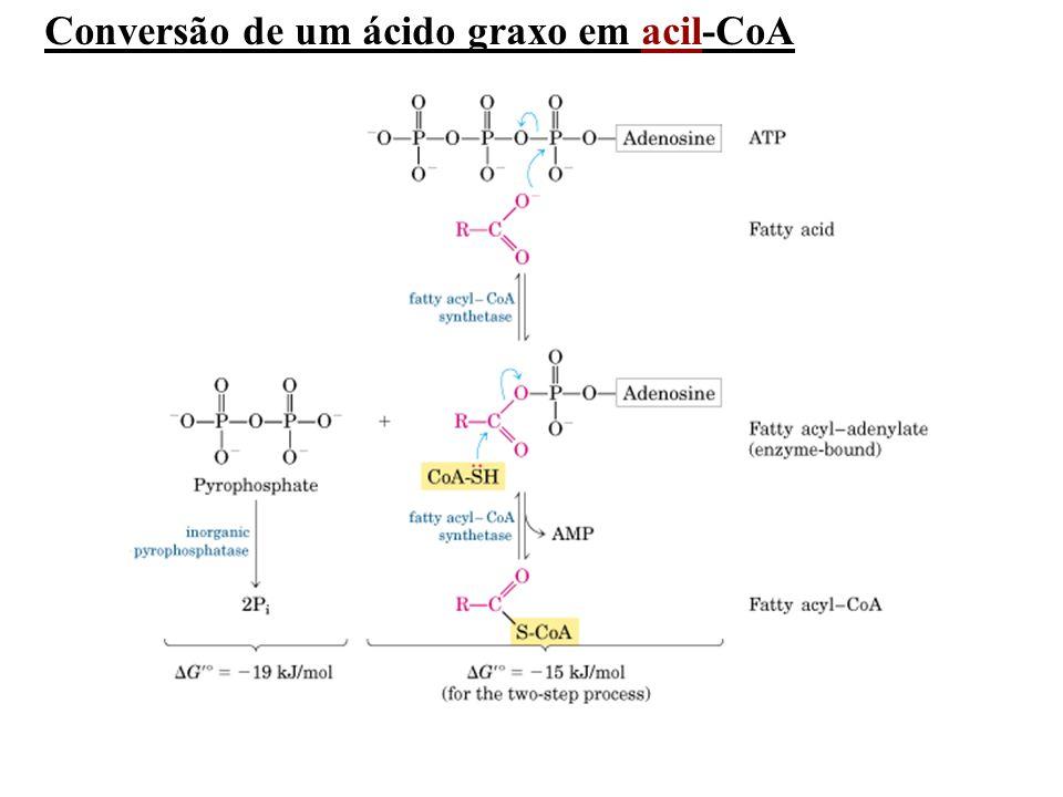 Conversão de um ácido graxo em acil-CoA