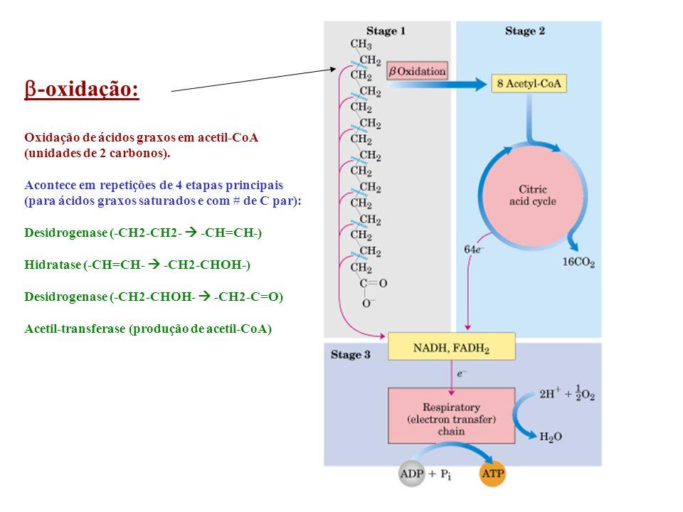 b-oxidação: Oxidação de ácidos graxos em acetil-CoA