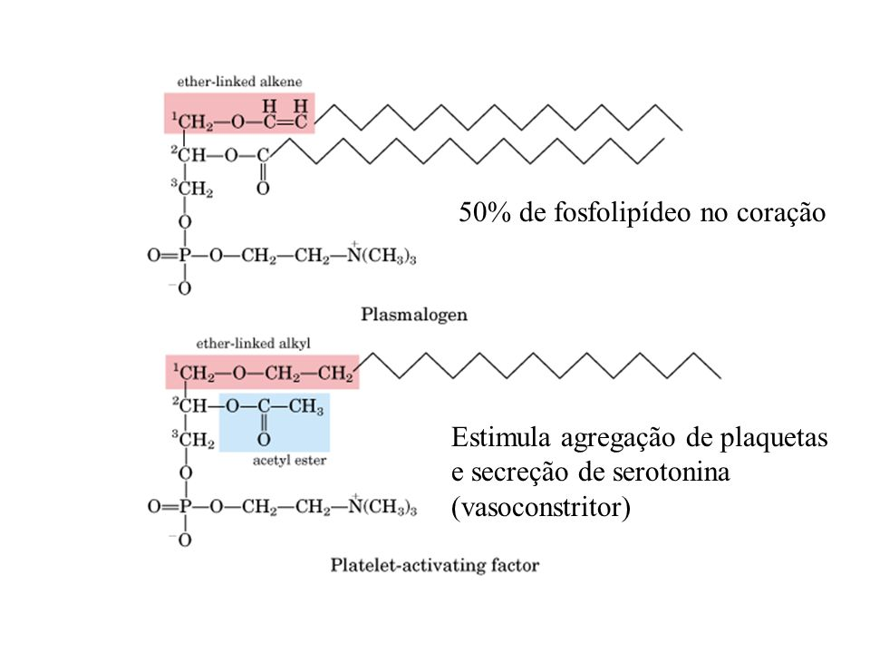 50% de fosfolipídeo no coração