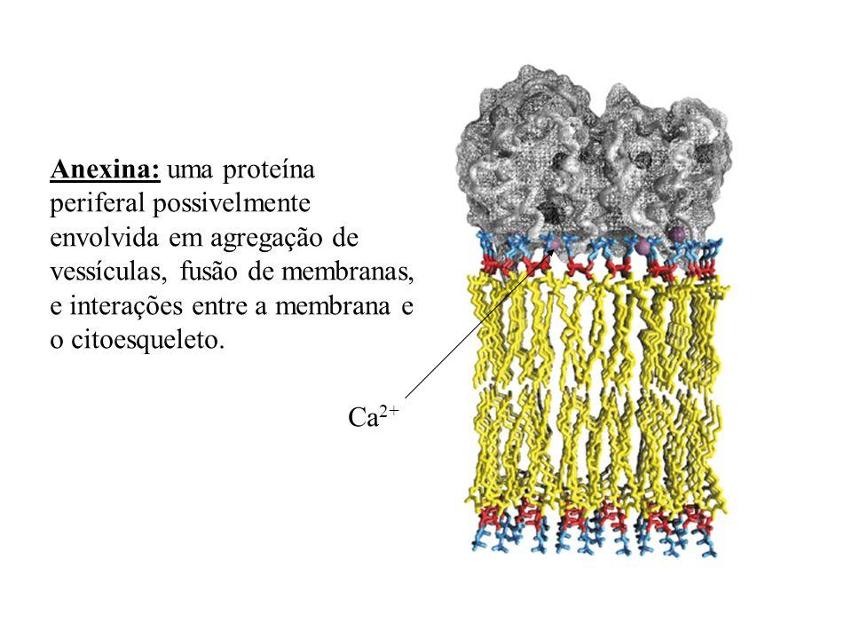 Anexina: uma proteínaperiferal possivelmente. envolvida em agregação de. vessículas, fusão de membranas,