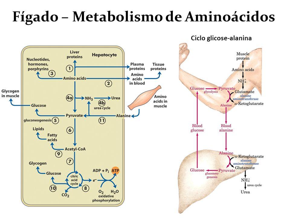 Fígado – Metabolismo de Aminoácidos