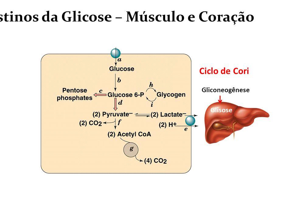 Destinos da Glicose – Músculo e Coração