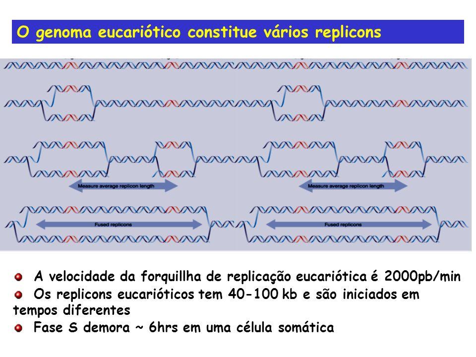O genoma eucariótico constitue vários replicons