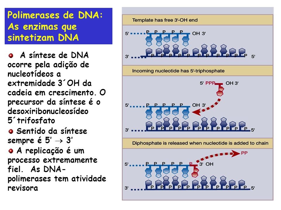 Polimerases de DNA: As enzimas que sintetizam DNA