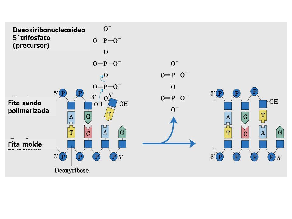 Desoxiribonucleosídeo 5´trifosfato (precursor)