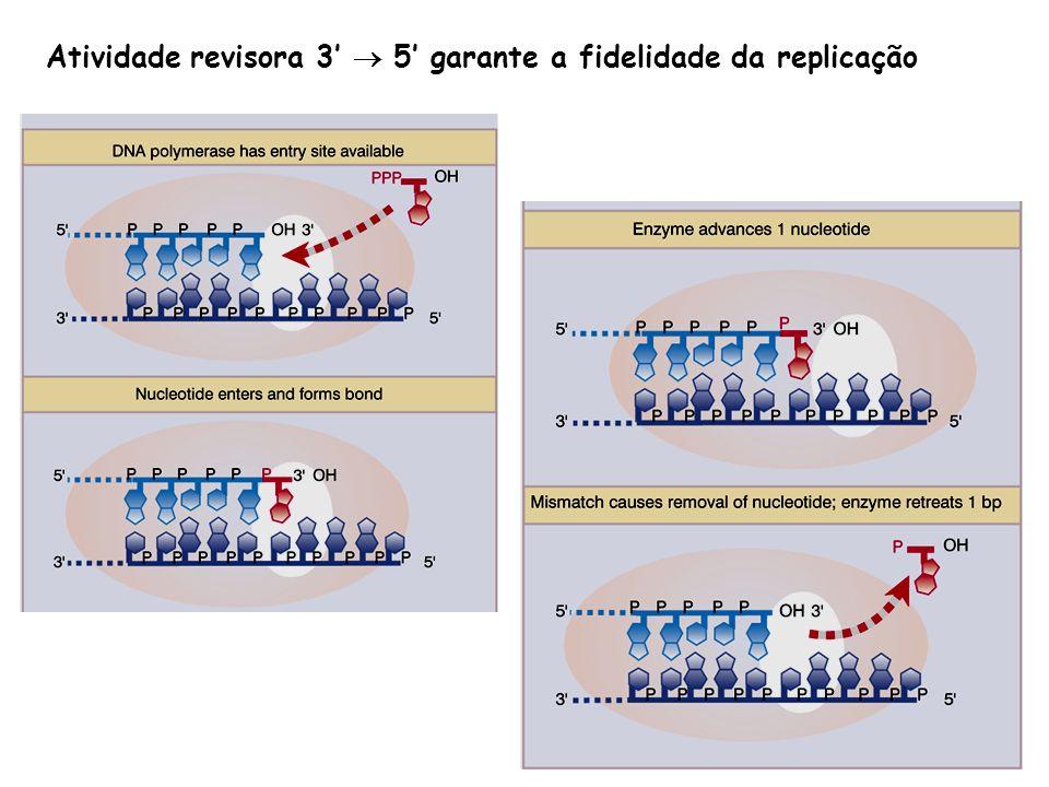 Atividade revisora 3'  5' garante a fidelidade da replicação