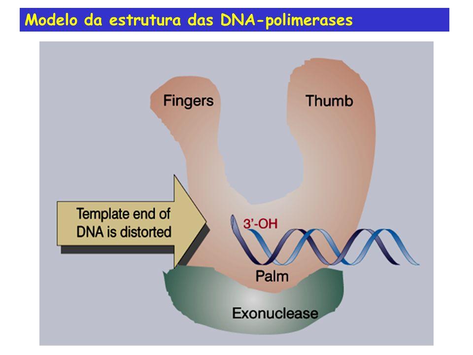 Modelo da estrutura das DNA-polimerases