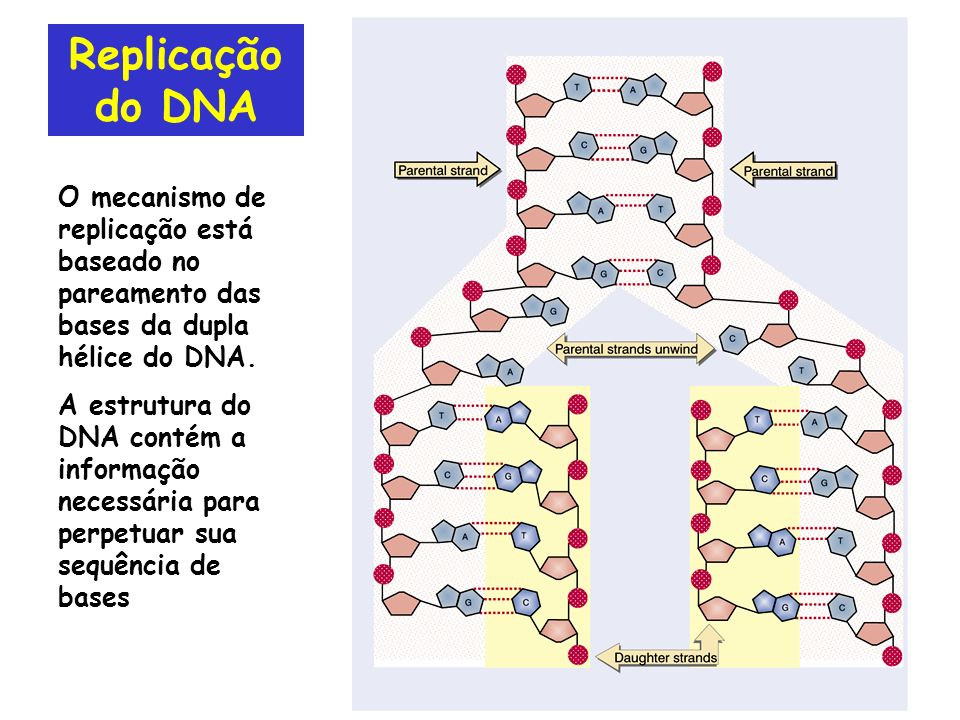 Replicação do DNA O mecanismo de replicação está baseado no pareamento das bases da dupla hélice do DNA.