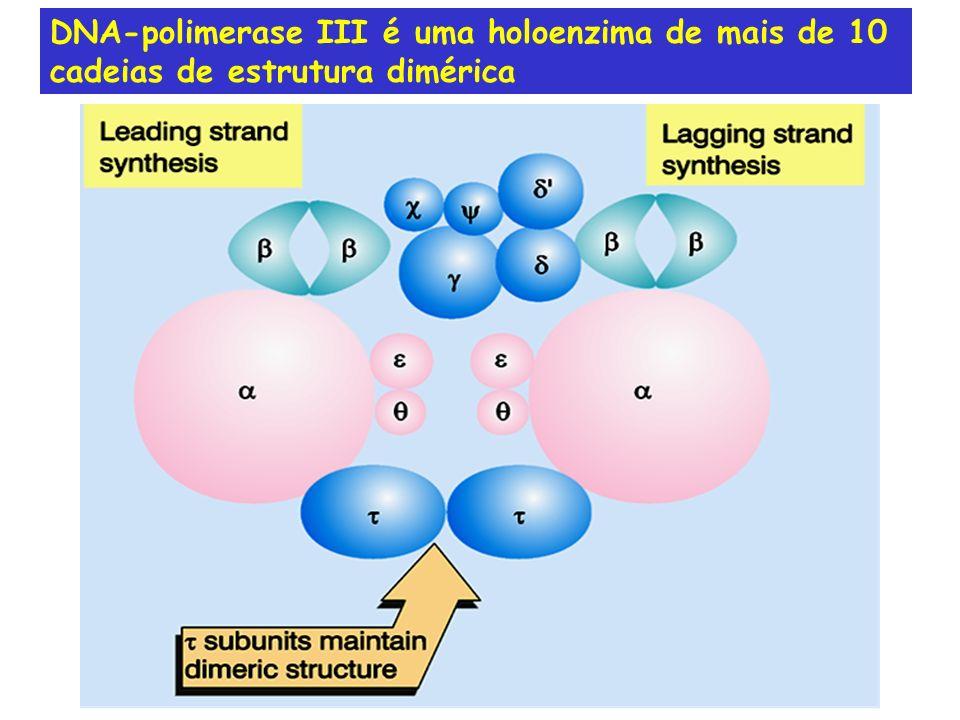 DNA-polimerase III é uma holoenzima de mais de 10 cadeias de estrutura dimérica