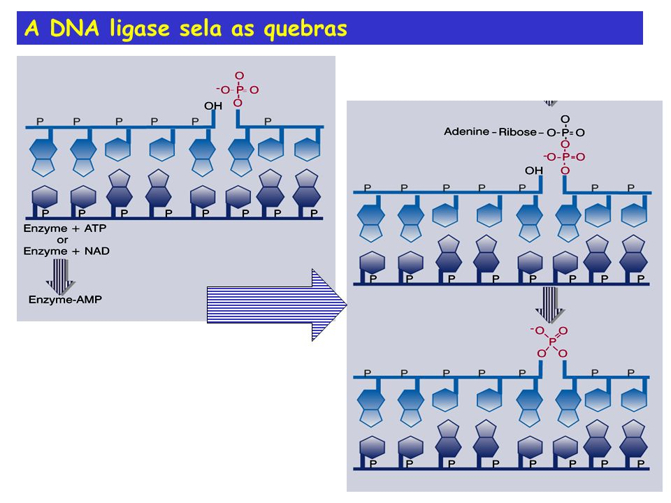 A DNA ligase sela as quebras