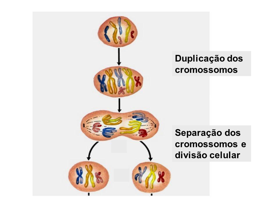 Duplicação dos cromossomos