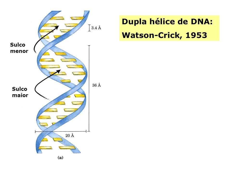 Dupla hélice de DNA: Watson-Crick, 1953 Sulco menor Sulco maior