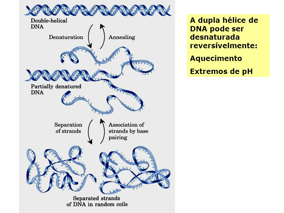 A dupla hélice de DNA pode ser desnaturada reversívelmente: