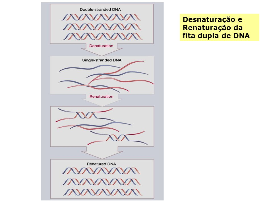 Desnaturação e Renaturação da fita dupla de DNA