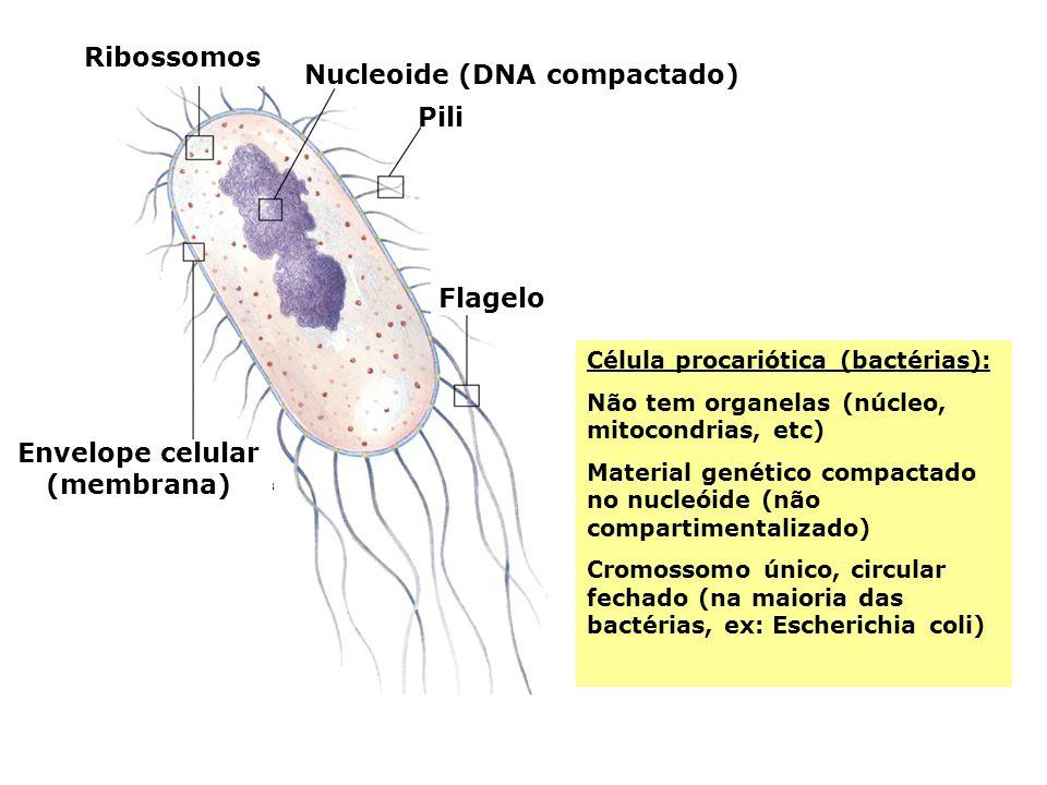Nucleoide (DNA compactado) Envelope celular (membrana)