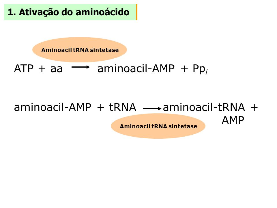 Aminoacil tRNA sintetase Aminoacil tRNA sintetase