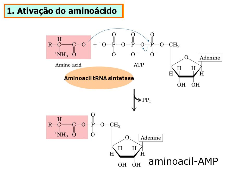 Aminoacil tRNA sintetase