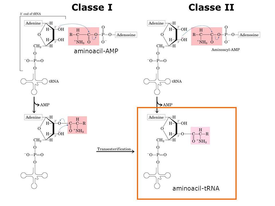 Classe I Classe II aminoacil-AMP aminoacil-tRNA