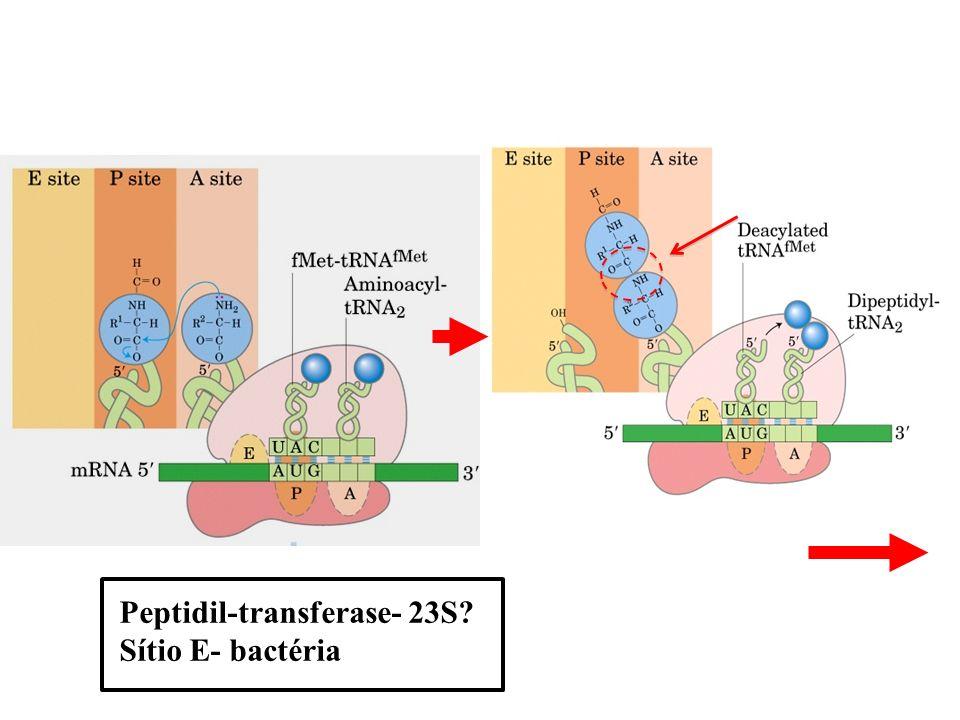 Peptidil-transferase- 23S