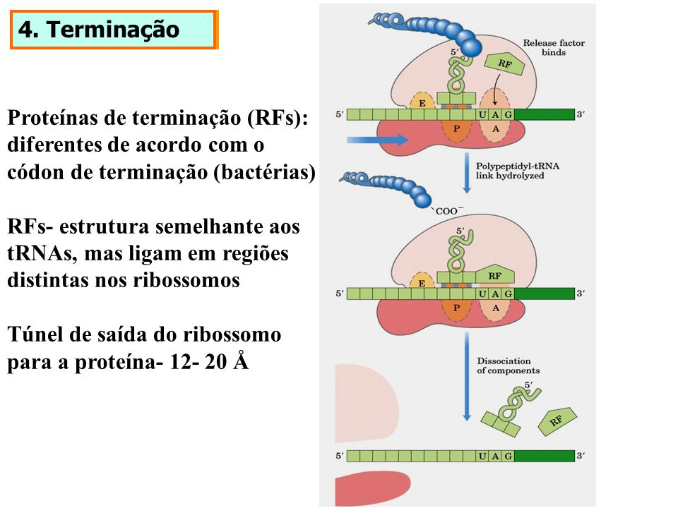 4. Terminação Proteínas de terminação (RFs): diferentes de acordo com o. códon de terminação (bactérias)