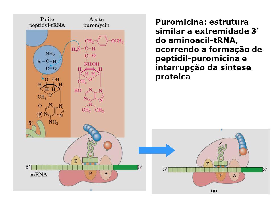 Puromicina: estrutura similar a extremidade 3' do aminoacil-tRNA, ocorrendo a formação de peptidil-puromicina e interrupção da síntese proteica