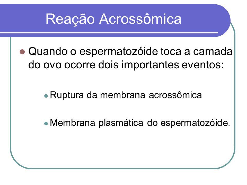 Reação Acrossômica Quando o espermatozóide toca a camada do ovo ocorre dois importantes eventos: Ruptura da membrana acrossômica.