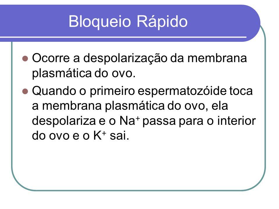 Bloqueio Rápido Ocorre a despolarização da membrana plasmática do ovo.