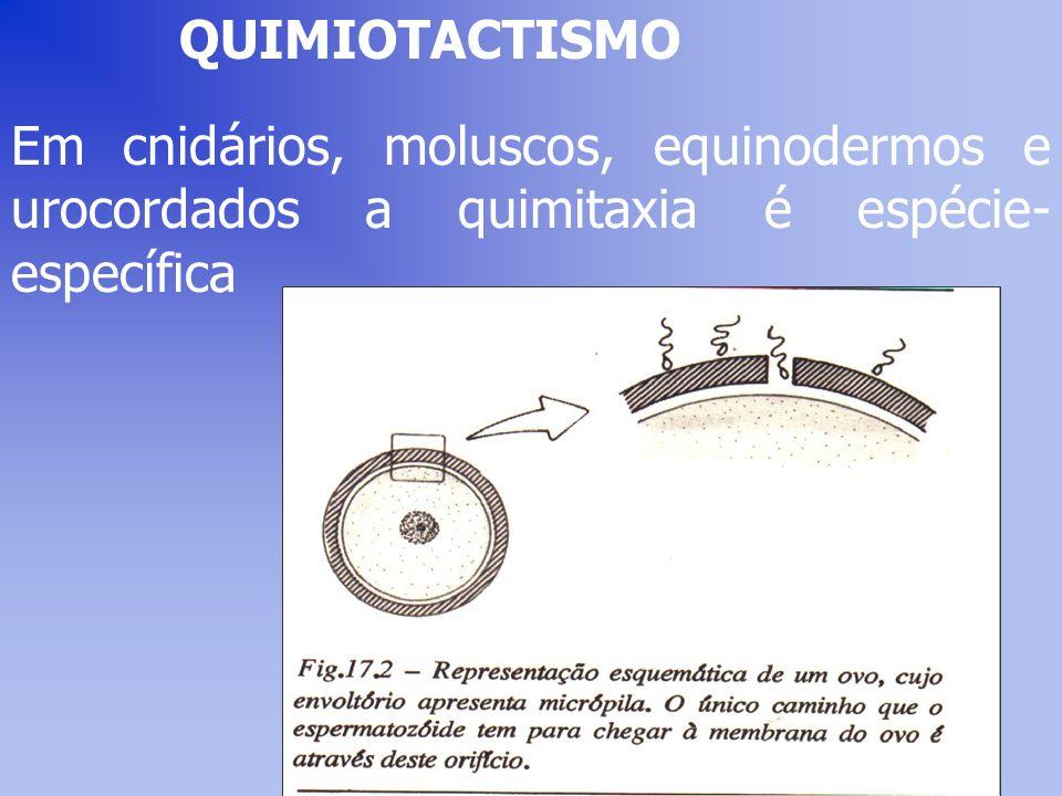 QUIMIOTACTISMO Em cnidários, moluscos, equinodermos e urocordados a quimitaxia é espécie-específica