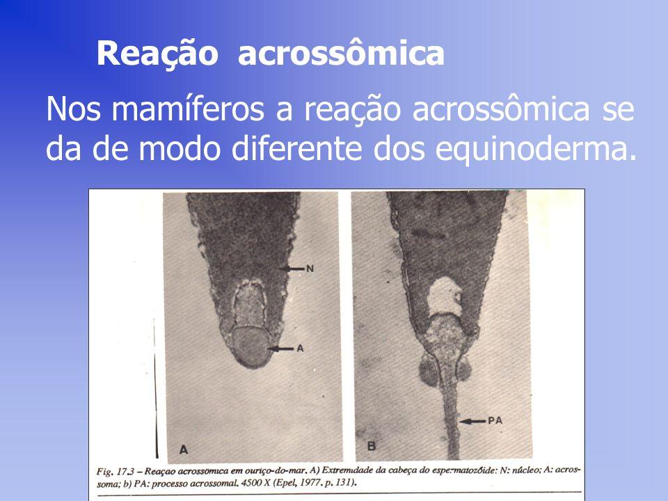 Reação acrossômica Nos mamíferos a reação acrossômica se da de modo diferente dos equinoderma.