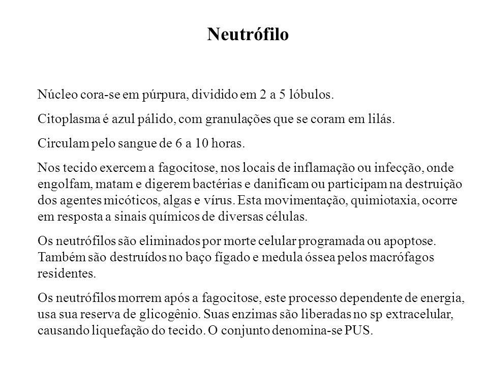 Neutrófilo Núcleo cora-se em púrpura, dividido em 2 a 5 lóbulos.
