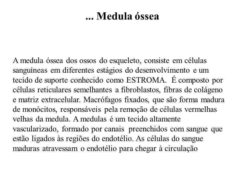 ... Medula óssea