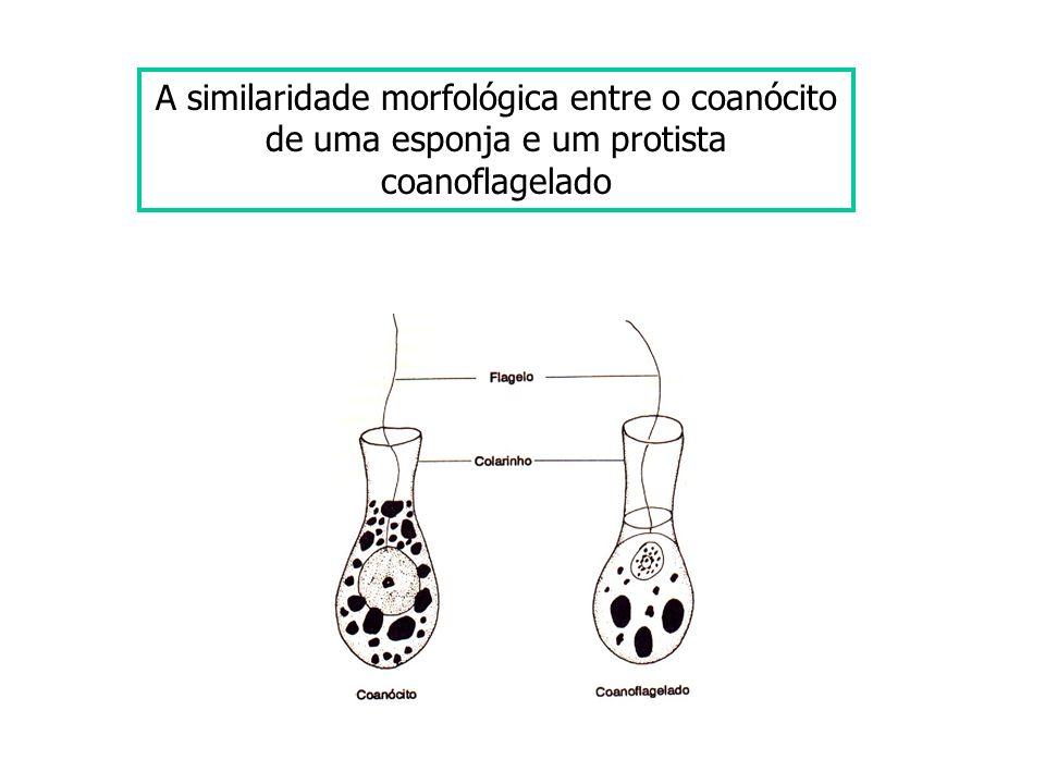 A similaridade morfológica entre o coanócito de uma esponja e um protista coanoflagelado