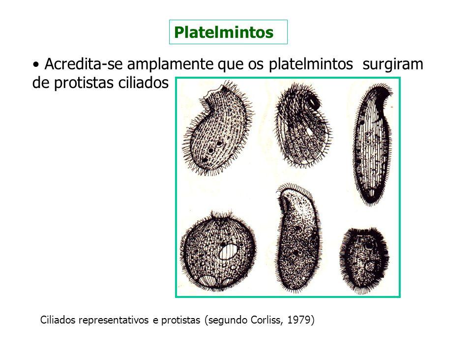 Platelmintos Acredita-se amplamente que os platelmintos surgiram de protistas ciliados.