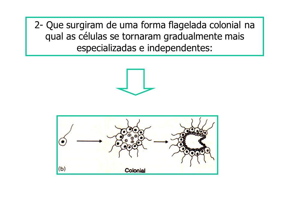 2- Que surgiram de uma forma flagelada colonial na qual as células se tornaram gradualmente mais especializadas e independentes: