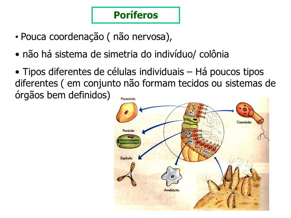 Poríferos Pouca coordenação ( não nervosa), não há sistema de simetria do indivíduo/ colônia.