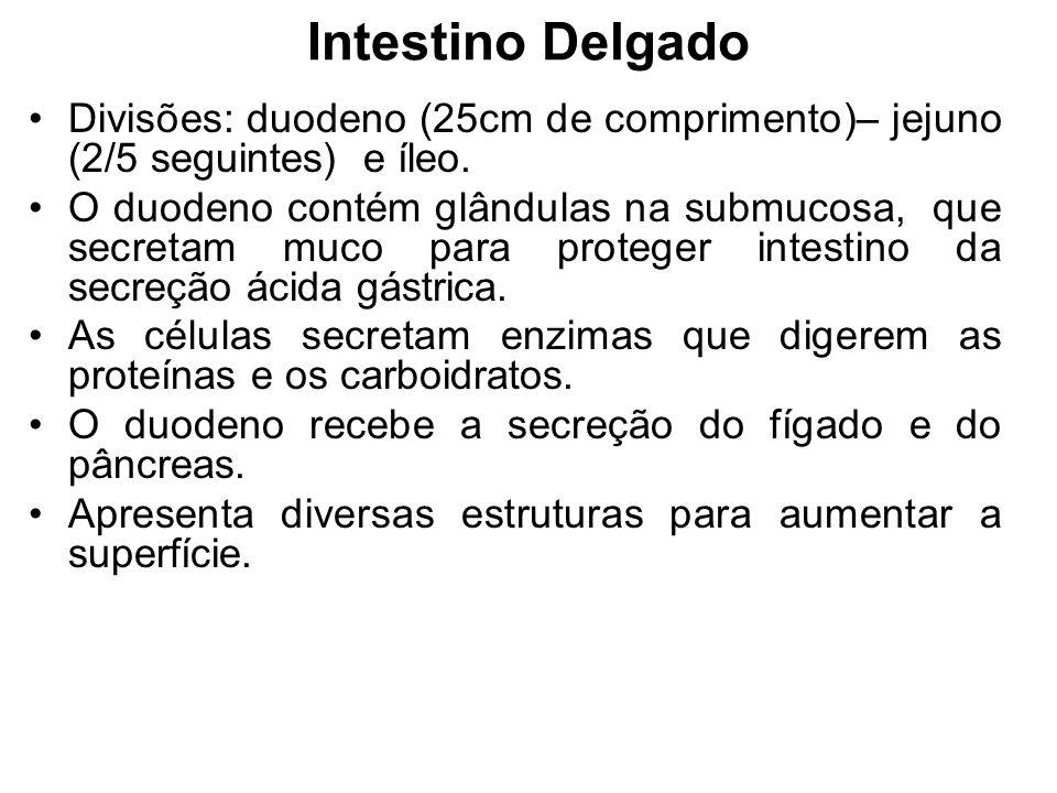 Intestino Delgado Divisões: duodeno (25cm de comprimento)– jejuno (2/5 seguintes) e íleo.