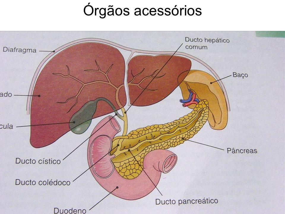 Órgãos acessórios
