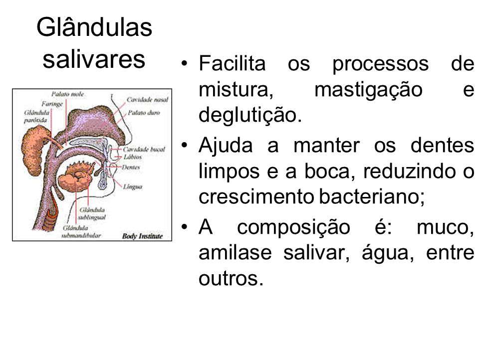 Glândulas salivares Facilita os processos de mistura, mastigação e deglutição.