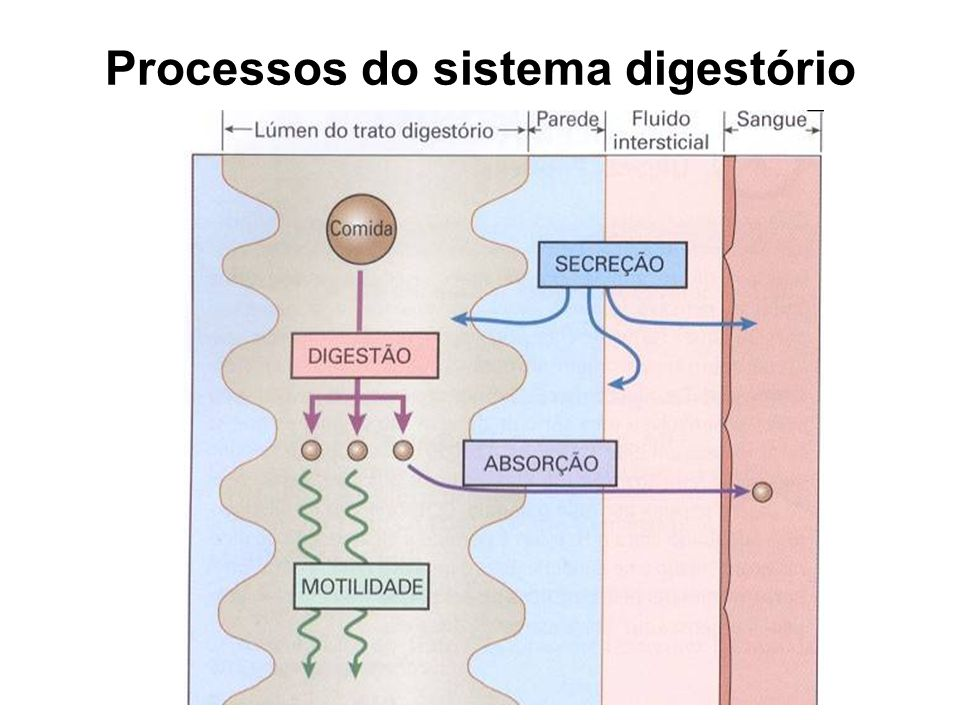 Processos do sistema digestório