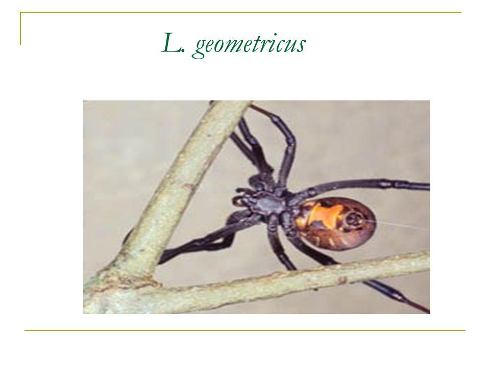 L. geometricus